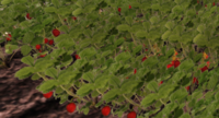 Strawberry-harvest.png